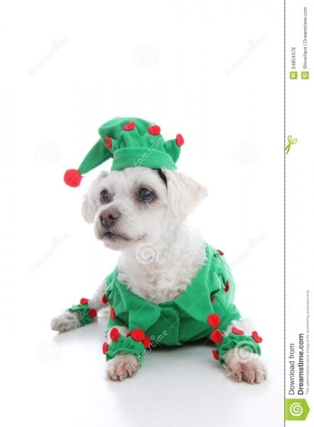 Pet Jester Or Christmas Elf Stock Photo