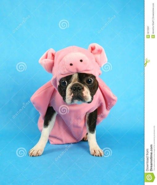 Pig Dog Stock Image  Image Of Mammal, Girl, Boston, Pedigree