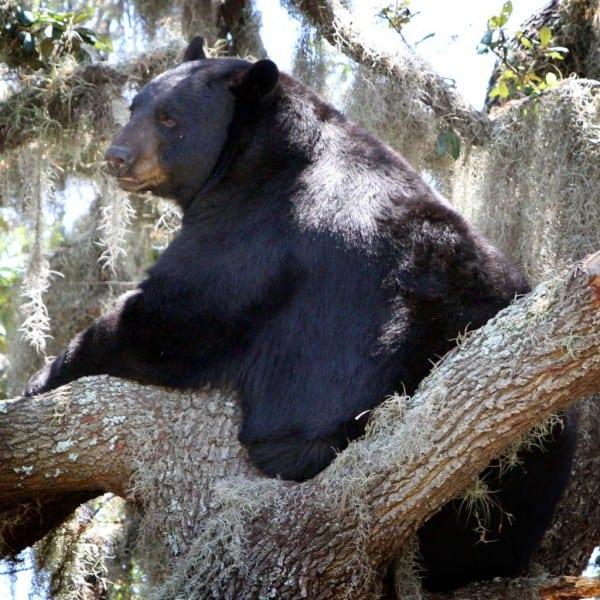 Kate Macfall  State's Bear Hunt Plans Defy Facts, Logic