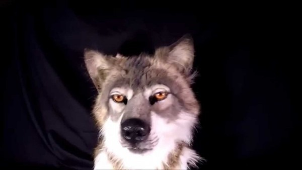 Hyper Realistic Wolf Mask Costume Review