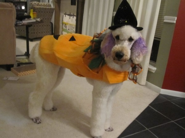 Hey Whats Your Favorite Poodle Halloween Costume