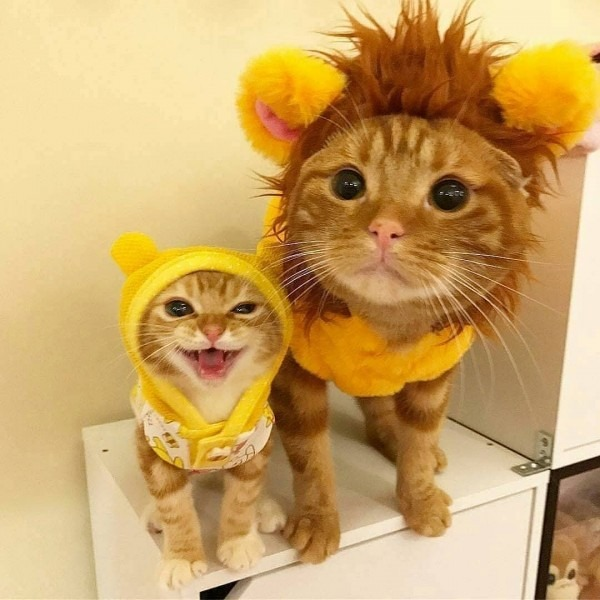 Psbattle  Two Cats In Costume   Photoshopbattles