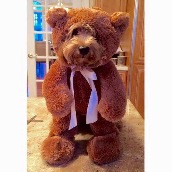 10 Teddy Bear Dogs That Pose Like A Toy Store Display You Would