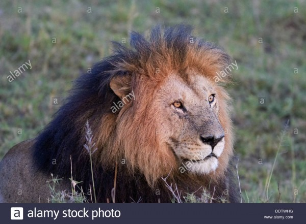 Frontal View Of Magnificent Adult Male Lion With Black Mane, In