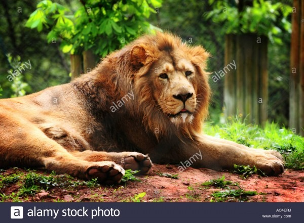 Male Lion Adult Fully Grown With Mane Lying Down Relaxing In A