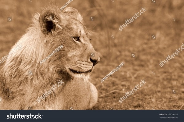 Sub Adult Male Lion Small Mane Stock Photo (edit Now) 265046456