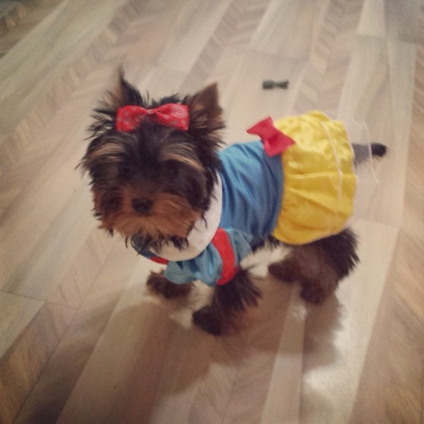 My 15 Week Old Yorkie Is Going As Snow White For Halloween