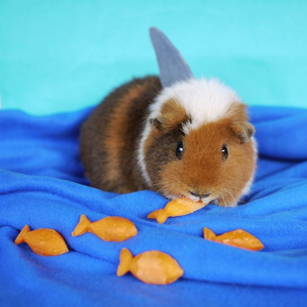 Guinea Pig Dresses Up In The Cutest Costumes (photos)