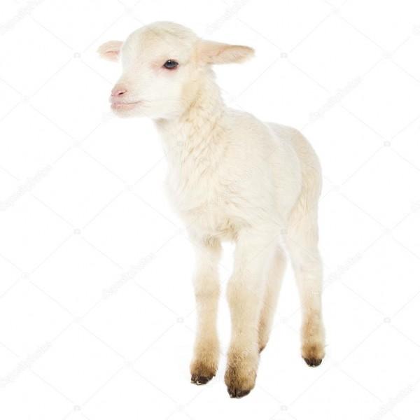 White Baby Lamb — Stock Photo © Djemphoto  95825640