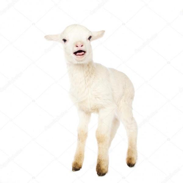 White Baby Lamb — Stock Photo © Djemphoto  95826116