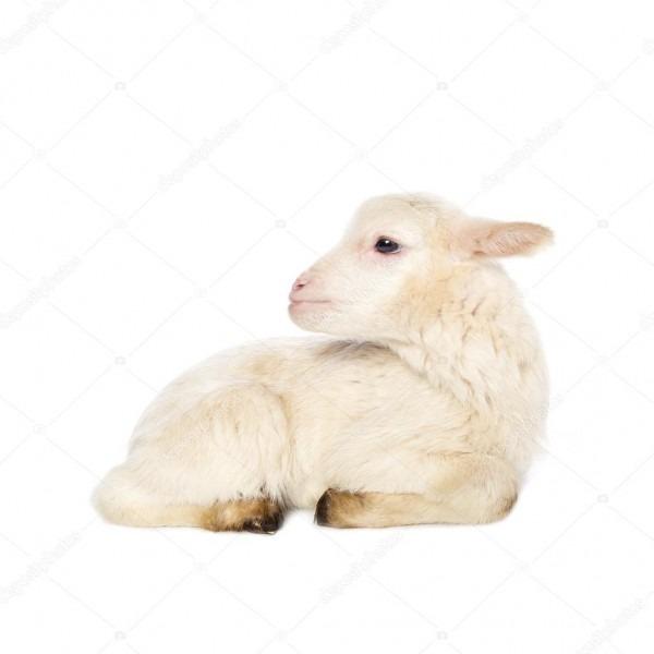 White Baby Lamb — Stock Photo © Djemphoto  95862426