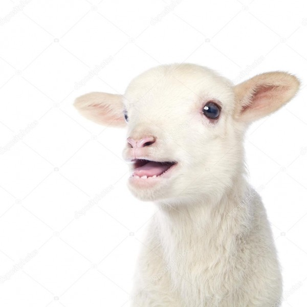 White Baby Lamb — Stock Photo © Djemphoto  95862550