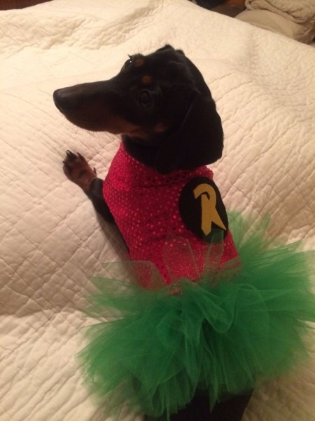 Dog   Dachshund Superhero Girl Robin Costume   Tutu Dress