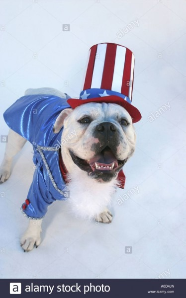 Portrait Of A Bulldog Wearing An Uncle Sam Outfit Stock Photo