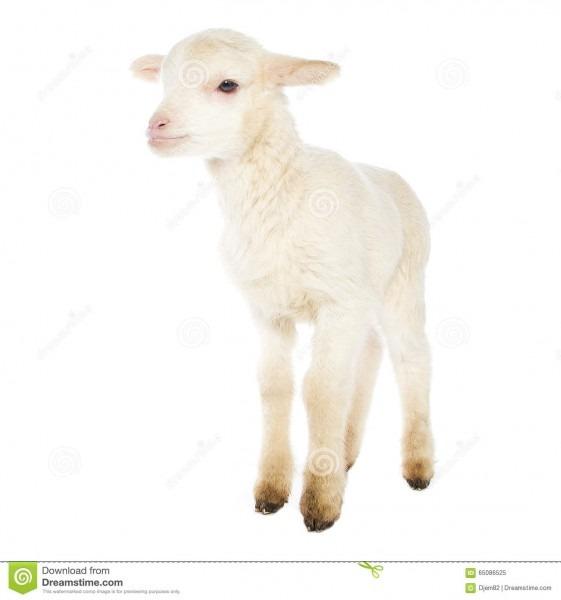 White Baby Lamb Stock Photo 65086525