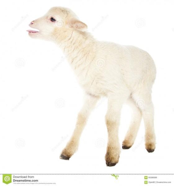 White Baby Lamb Stock Photo  Image Of Yeanling, Mammal