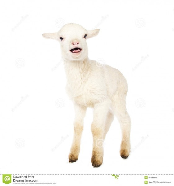 White Baby Lamb Stock Photo  Image Of Farming, Livestock