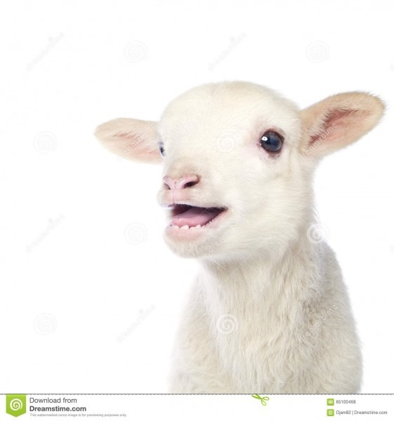 White Baby Lamb Stock Photo  Image Of Farming, Innocent