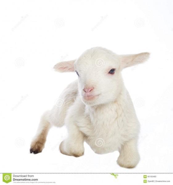White Baby Lamb Stock Image  Image Of Livestock, Lamb