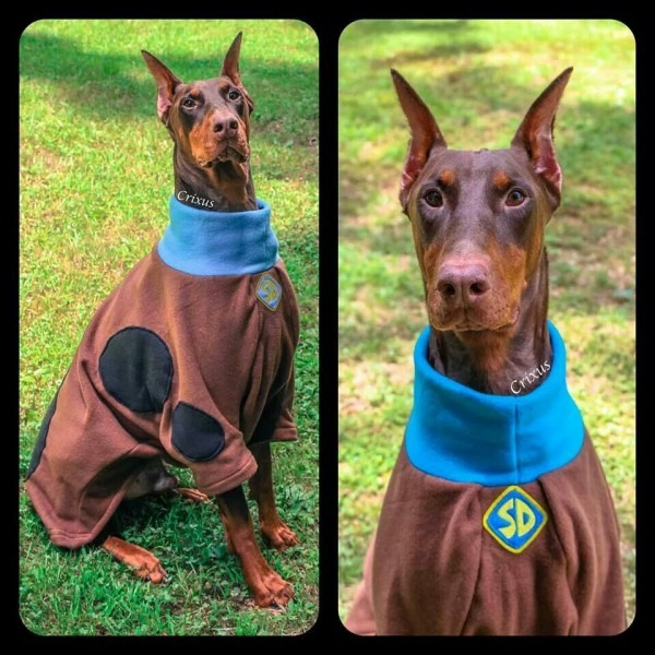 Doberman In A Scooby Doo Costume