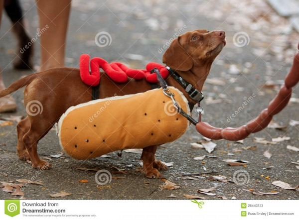 Dachshund Dressed In Hot Dog Costume For Halloween Editorial Stock