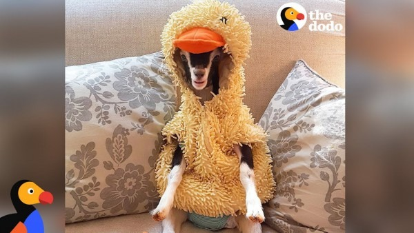 Anxious Goat Calms Down In Duck Costume  Cute Animals Halloween