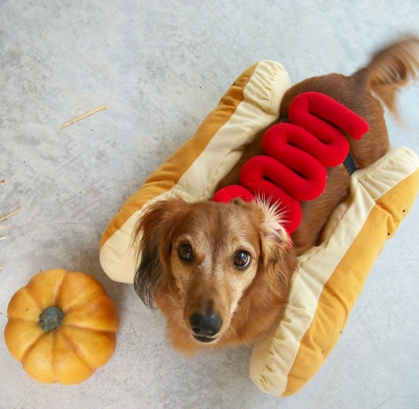 Wiener Dog Dachshund In Hot Dog Costume
