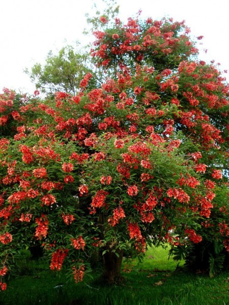 Rare Fireman's Cap Coral Tree Erythrina Crista Galli