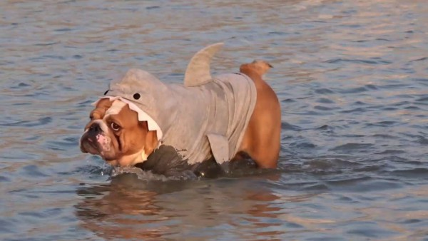Dog In Shark Costume Swimming Around In The Sea