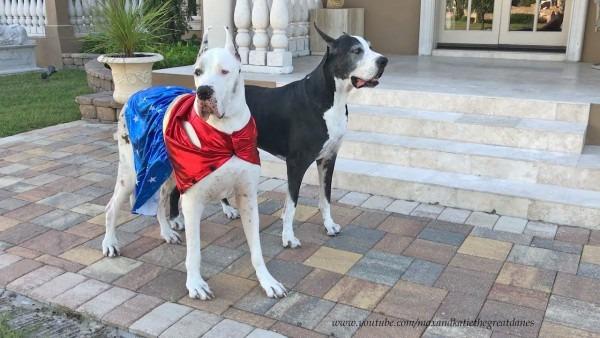 Great Dane Models Super Hero Halloween Costume