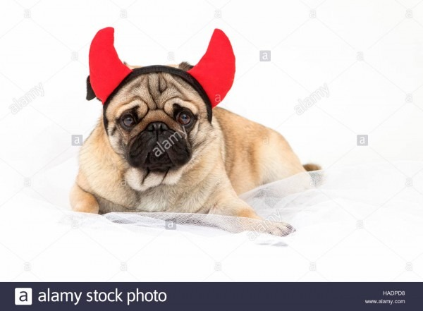 Pug  Adult Male Lying, Wearing Devil Horns  Studio Picture Against