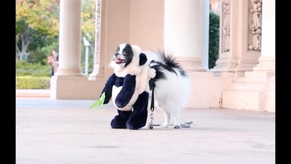 Dog Dresses Up As Panda For Halloween